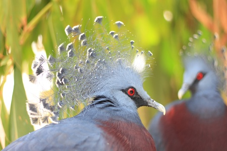 chordata phylum: Victoria Crowned Pigeon
