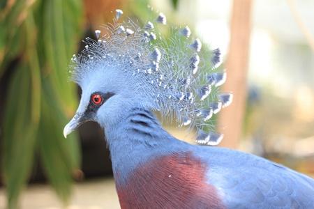 phylum chordata: Victoria Crowned Pigeon