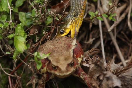 タイガー keelback ヘビ ヤマカガシ ヒキガエル カエルについて日本で食べる