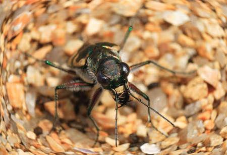 tiger beetle: Lewis Tiger Beetle Cicindela lewisi in Giappone