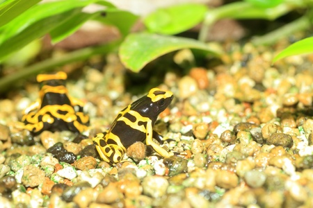 yellow and black poison dart frog: Yellow-headed poison frog or Yellow-banded poison dart frog  Dendrobates leucomelas  in South America Stock Photo