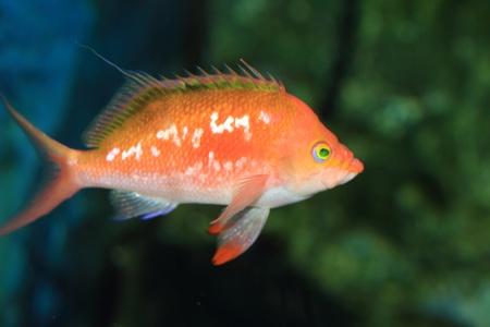 basslet: Cereza basslet Sacura margaritacea en Jap�n Foto de archivo