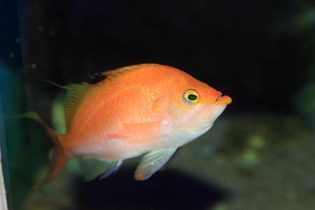 basslet: Cherry basslet  Sacura margaritacea  in japan