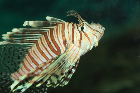 Luna lionfish  Pterois lunulata  in Japan photo