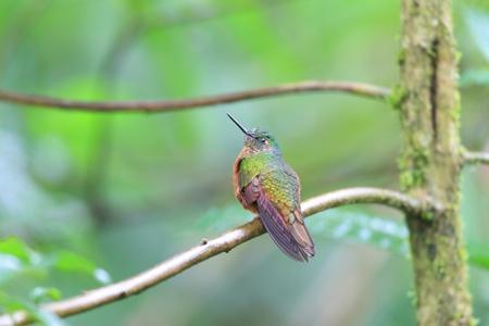 coronet: Chestnut-breasted Coronet Boissonneaua matthewsii in Ecuador Stock Photo