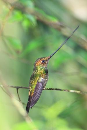 billed: Sword-Billed Hummingbird  Ensifera ensifera  in Guango, Ecuador, South America  Stock Photo