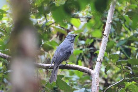 dusky: Dusky Piha  Lipaugus fuscocinereus  in Ecuador