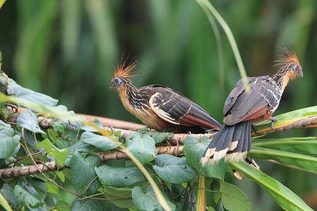 エクアドルのツメバケイ Opisthocomus hoazin 写真素材