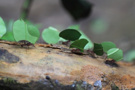 acromyrmex: Leaf Cutting Ants