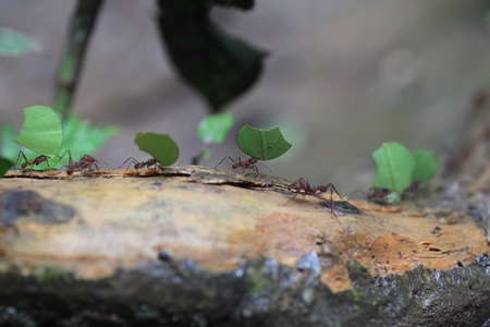 Leaf Cutting Ants Stock Photo - 22547668