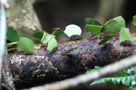 Leaf Cutting Ants Stock Photo - 22547670
