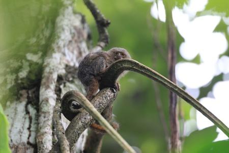 pygmy: Pygmy Marmoset Callithrix Cebuella pygmaea in Ecuador