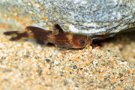 bullhead: Stumpy bagrid catfish or Stumpy bullhead  Coreobagrus ichikawai  in japan Stock Photo