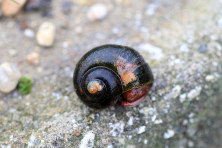 apple snail: channeled apple snail or golden apple snail  in Japan Stock Photo