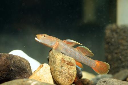 goby: Rhinogobius flumineus goby fish in Japan