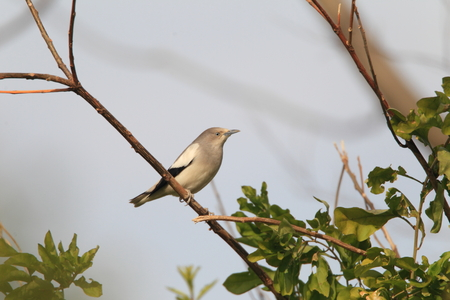 shouldered: White-shouldered Starling  Sturnus sinensis  in Japan Stock Photo