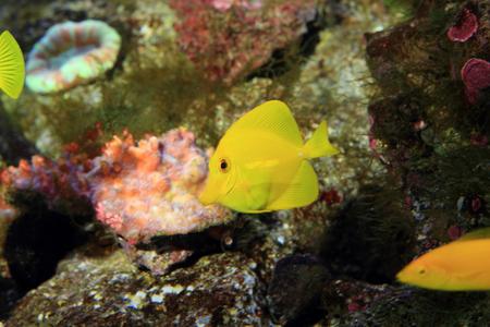 surgeon fish: Amarillo peces cirujano Zebrasoma flavescens en Jap�n