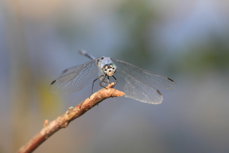 sympetrum: Sympetrum gracile dragonfly in Japan