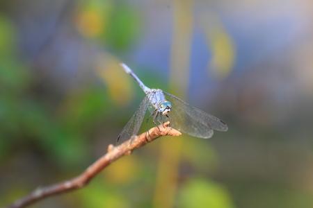 sympetrum: Sympetrum gracile dragonfly in Japan