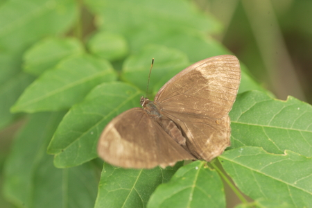diana: The Diana Treebrown Lethe diana in Japan