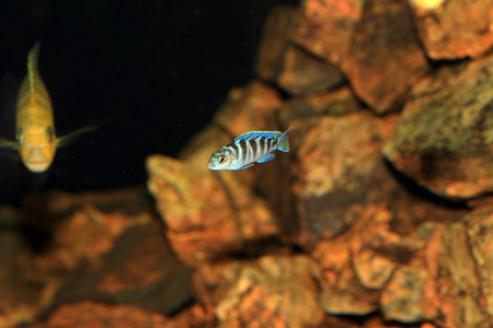 cyphotilapia: Cyphotilapia frontosa juvnule in Lake Tanganyika Stock Photo
