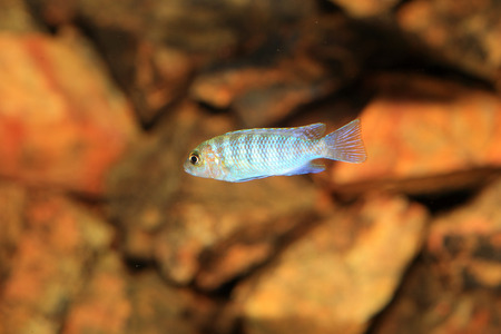 Cyphotilapia frontosa juvnule in Lake Tanganyika Stock Photo - 22588456