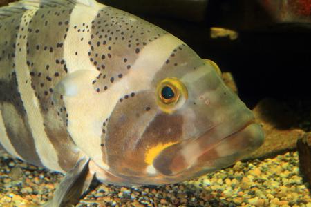 epinephelus: Longtooth grouper  Epinephelus bruneus  in Japan