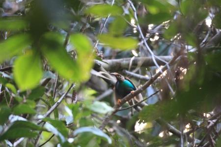 シロハタフウチョウ楽園の鳥 Semioptera wallacii ハルマヘラ島, インドネシア
