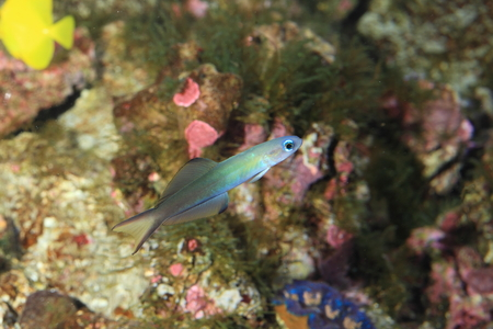 goby: Blue gudgeon  Ptereleotris microlepis  in Japan