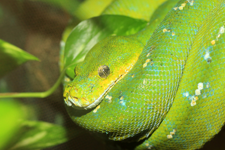 Green Boa or Green tree python  Morelia viridis  in North Australia photo