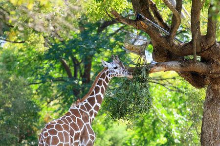 giraffa: Giraffe  Giraffa camelopardalis  Stock Photo