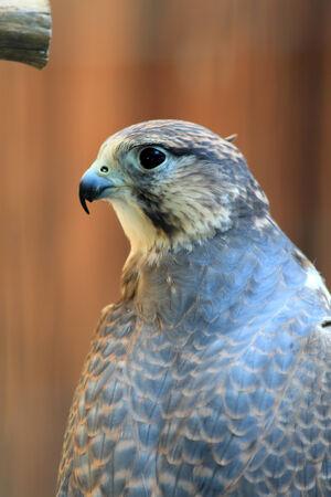 cherrug: Saker falcon  Falco cherrug