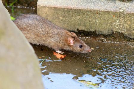 Norway rat (Rattus norvegicus) in Japan Stock Photo