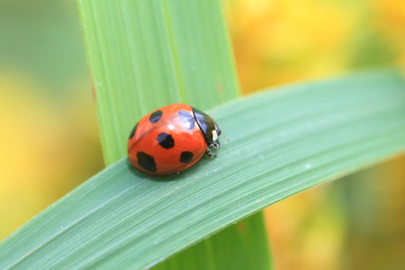 coccinella: Seven-spot ladybird or Sevenspotted lady beetle  Coccinella septempunctata