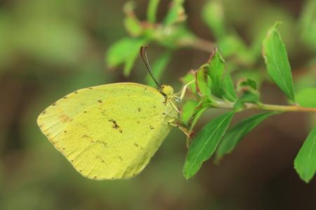 mandarina: Common Grass Yellow butterfly  Eurema hecabe mandarina  in Japan