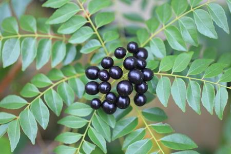 rutaceae: Curry Tree  Murraya koenigii