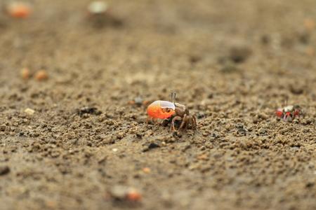 fiddler: fiddler crab in Okinawa, Japan