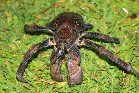 Coconut crab  Birgus latro  in Japan 版權商用圖片