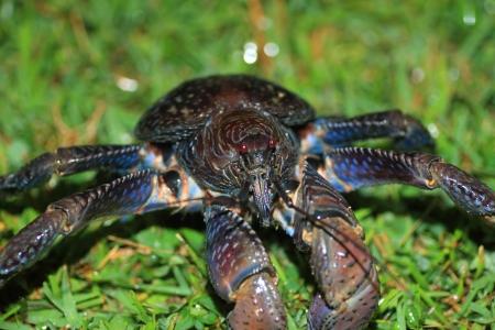 coconut crab: Coconut crab  Birgus latro  in Japan Stock Photo