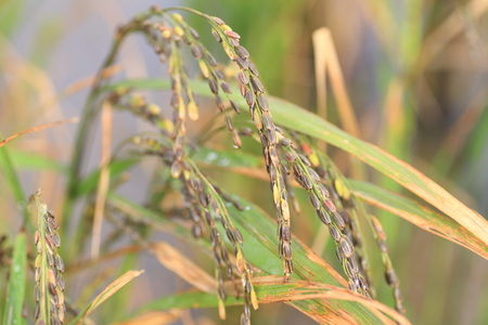 filed: unpolished rice or unmilled rice or brown rice in Japan Stock Photo
