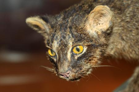 prionailurus: Iriomote wild cat (Prionailurus bengalensis iriomotensis) in Iriomote Island, Japan Stock Photo