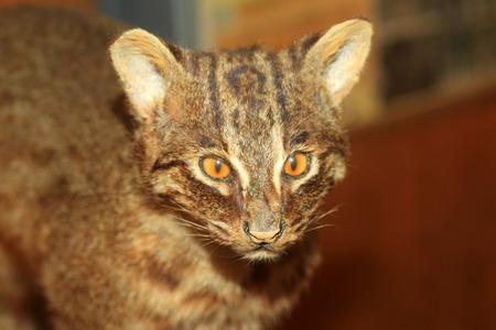 Iriomote wild cat (Prionailurus bengalensis iriomotensis) in Iriomote Island, Japan Stock Photo