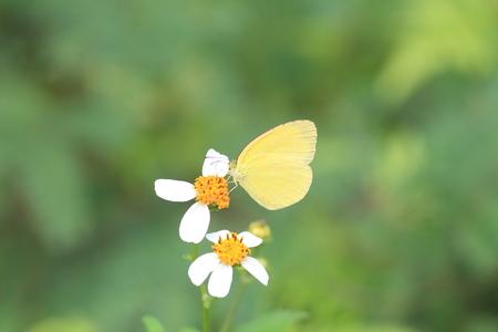 ryukyu: Taiwan Three-Spot Grass Yellow (Eurema blanda arsakia) in Okinawa, Japan