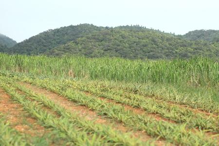 沖縄のパイナップル フィールド