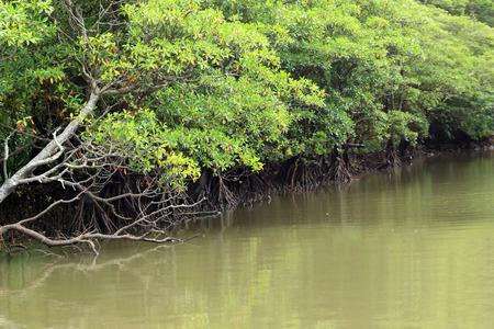 Urauchi River and mangrove in Iriomote Island, Japan