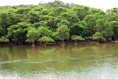mangrove: Urauchi River and mangrove in Iriomote Island, Japan