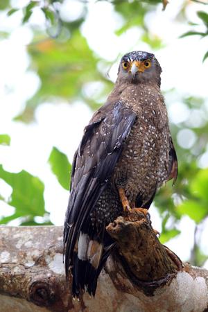 Ryukyu Crested serpent eagle  Spilornis cheela  in Japan 写真素材