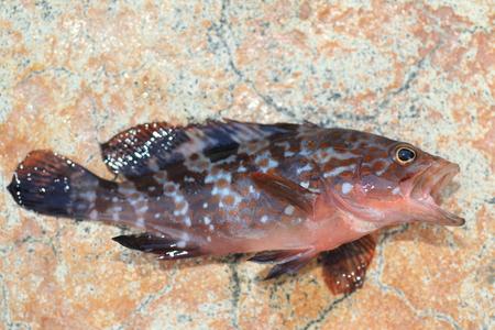 epinephelus: Redspotted grouper or Hong Kong grouper  Epinephelus akaara  in Japan