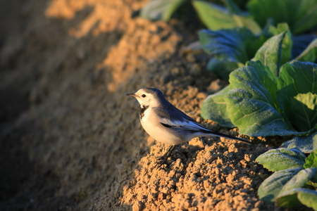 Japanese  Kamchatka  Pied Wagtail or Black-backed Wagtail  Motacilla alba lugens  in Japan Stock Photo - 24106695
