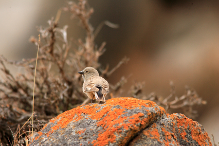 中国青海省でホワイト rumped Snowfinch Montifringilla エゾメバル
